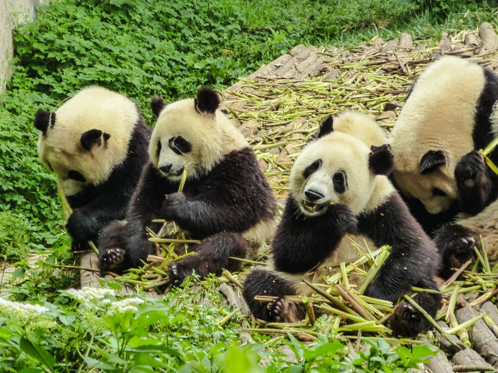 Pandas in Chengdu, South west China